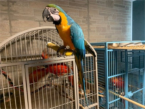 Healthy Blue & Gold Macaw