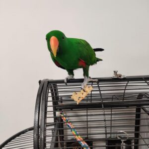Hand Tame Eclectus Parrot