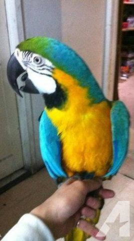 Blue and Gold Macaw (male)