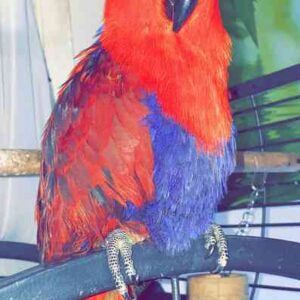 Eclectus female 1year old bird for sale