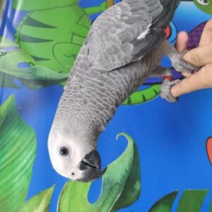 Hand Reared Baby African Grey parrot