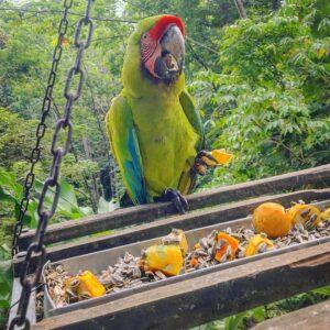great green buffon macaw