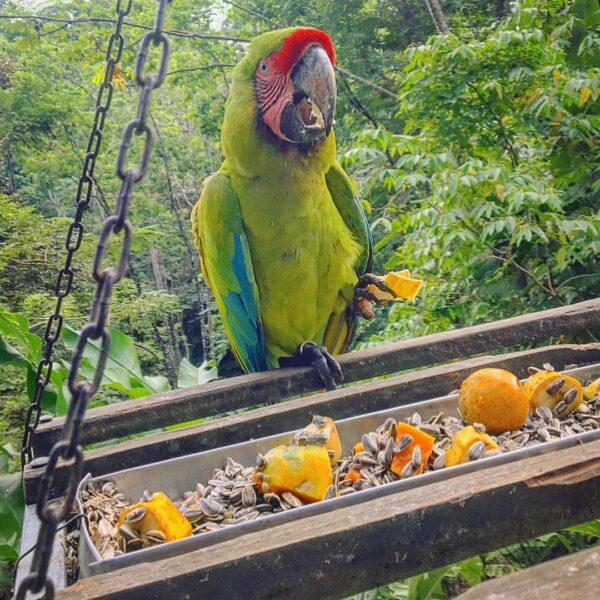 great green buffon macaw