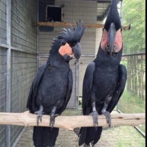 Black Palm Cockatoo for sale