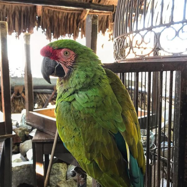 Military Macaws Parrot