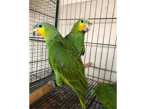 Healthy Blue Amazon parrots
