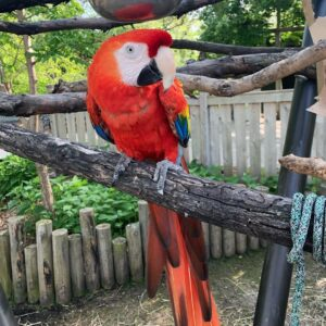 Scarlet Macaws Parrot