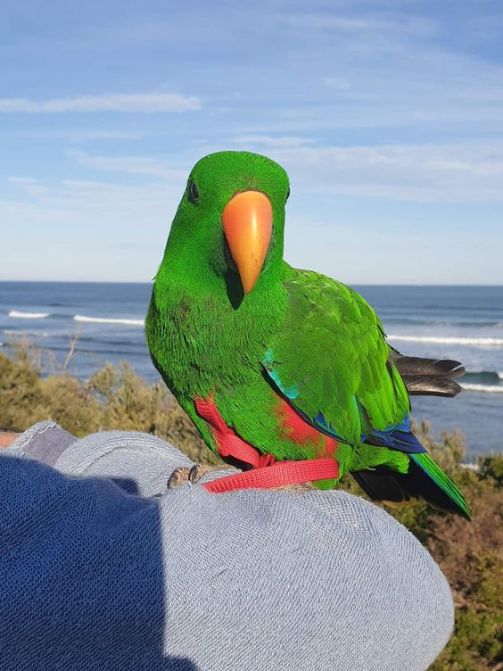 Eclectus Parrot for sale