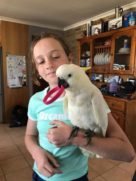 cockatoo for sale