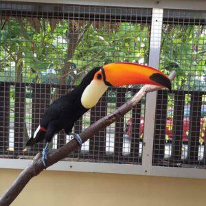 Toco Toucan Female Birds